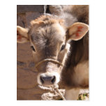 Baby Cow - Brown Baby Calf Close Up Face Postcard