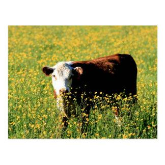 Baby Cow in a field of Dandelions Postcard