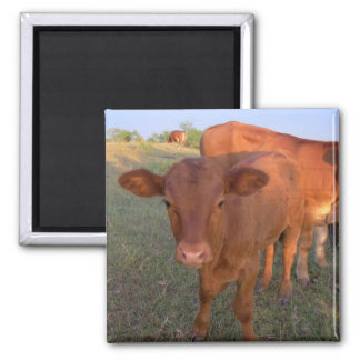 baby cow magnet