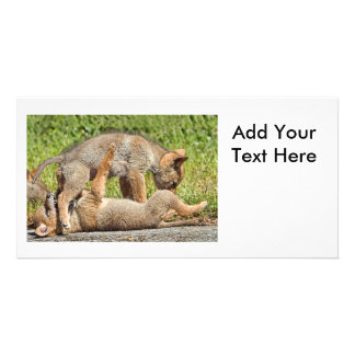 Baby Coyote Brothers Fighting Picture Card