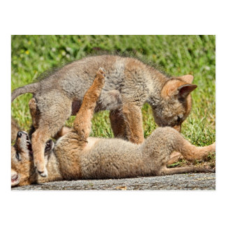 Baby Coyote Brothers Fighting Postcard