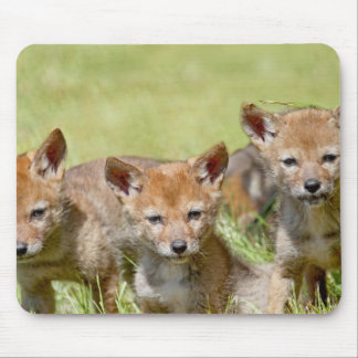 Baby Coyotes Photo Mouse Pad
