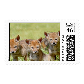 Baby Coyotes Photo Stamps