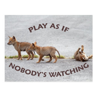Baby Coyotes Playing Postcard