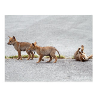 Baby Coyotes Playing Post Cards