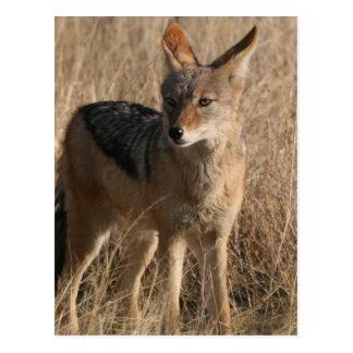 Baby Coyotes Postcard
