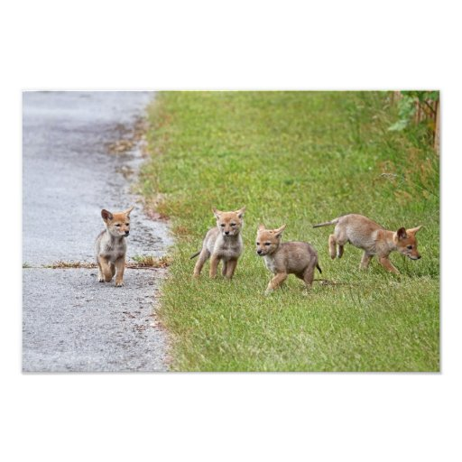 Baby Coyotes Running and Playing Art Photo
