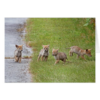 Baby Coyotes Running and Playing Card