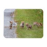 Baby Coyotes Running and Playing Flexible Magnet