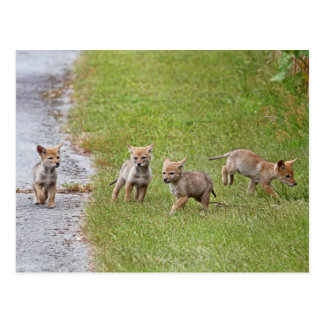 Baby Coyotes Running and Playing Postcard