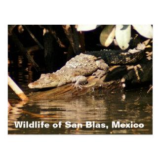 Baby Crocodile San Blas Mexico Postcard