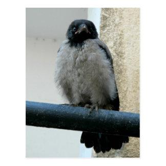 Baby crow postcard