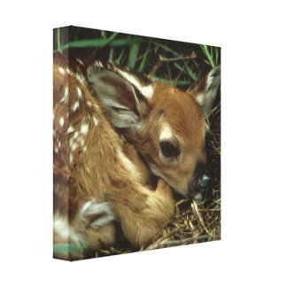 Baby Deer Canvas Print