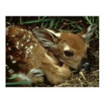 Baby Deer Postcard
