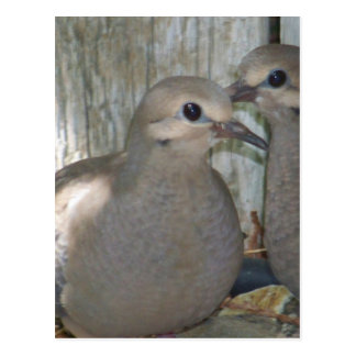 Baby Doves Postcard