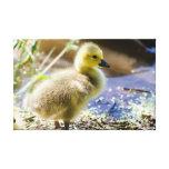 Baby Duck Canvas Print