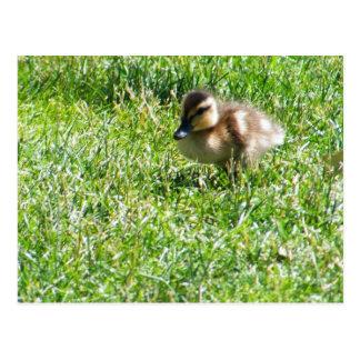Baby duck postcard