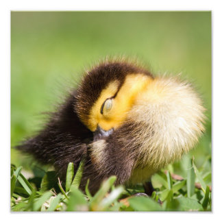 Baby Duck Sleeping Photo Print