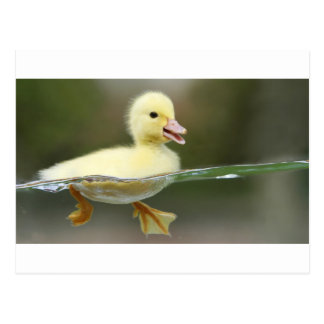 baby duck swimming cute postcard