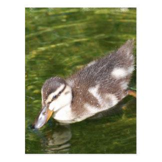 Baby Duck Swimming  Postcard