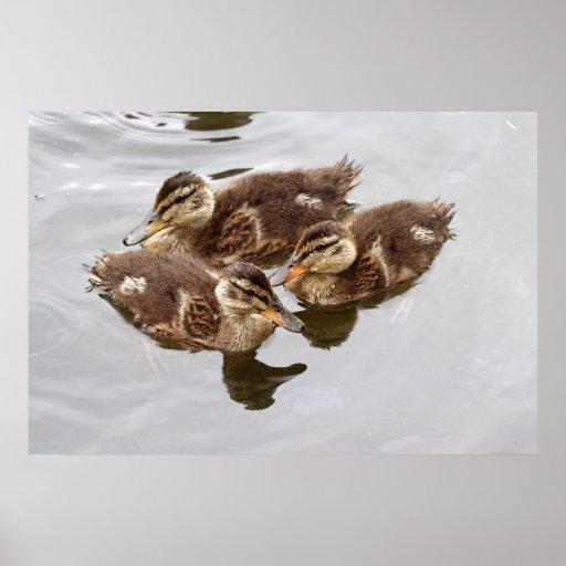 Baby Ducks Photo Poster