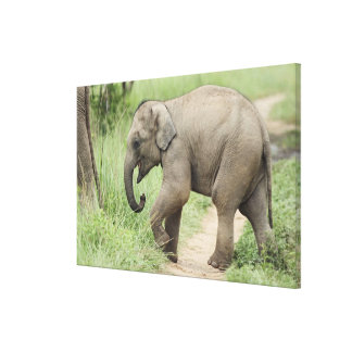 Baby Elephant following the mother,Corbett Gallery Wrapped Canvas