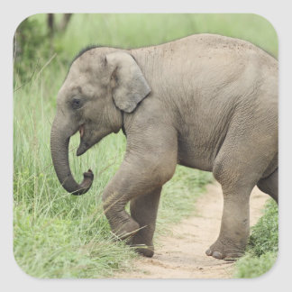 Baby Elephant following the mother,Corbett Square Sticker