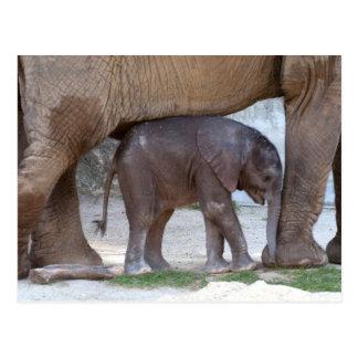 Baby Elephant Hiding Under Mother Postcard