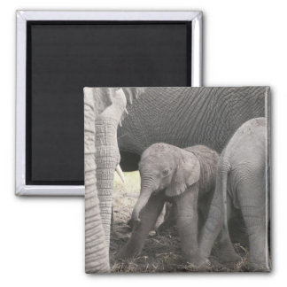 Baby elephant is standing and wobbly 2 inch square magnet