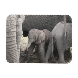 Baby elephant is standing and wobbly rectangular photo magnet