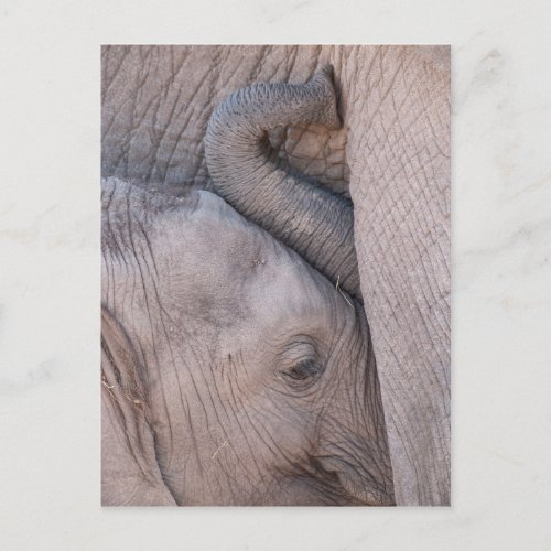Baby Elephant Snuggles Postcard