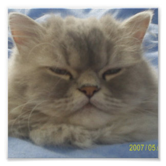 Baby Face Persian Cat Poster