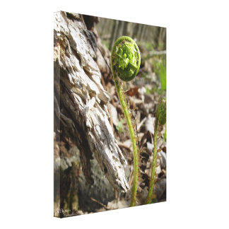 Baby fern Stretched Canvas Print