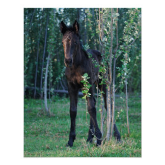 Baby foal and poplar sapling poster