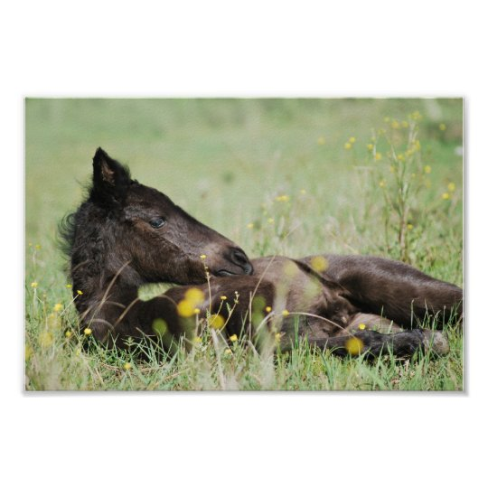 Baby foal lying in the meadow poster