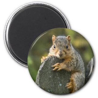 Baby Fox Squirrel 2 Inch Round Magnet