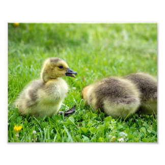 Baby Geese Photo Print