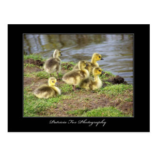 Baby Geese - Postcard