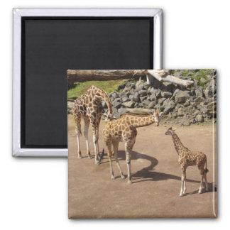 Baby Giraffe and Giraffe Family Magnet
