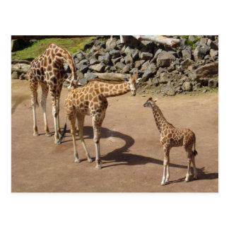 Baby Giraffe and Giraffe Family Postcard
