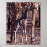 Baby giraffe and mother, Tanzania Poster