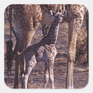Baby giraffe and mother, Tanzania Square Sticker