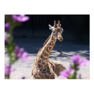 baby giraffe post cards