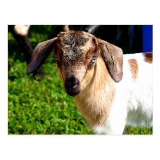 Baby Goat - Postcard