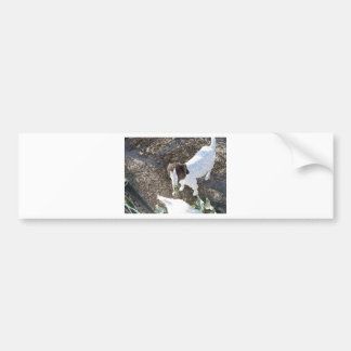 Baby Goat with Cabbage Leaves Bumper Sticker