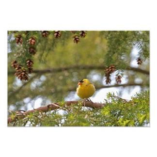 Baby Goldfinch Photo