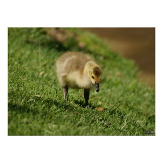 Baby Goose Looking at Baby Mushroom Photo Print print