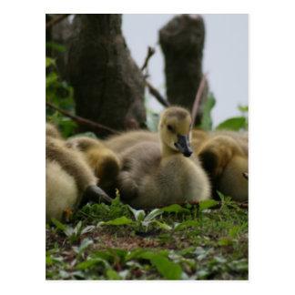 Baby Goose Postcard