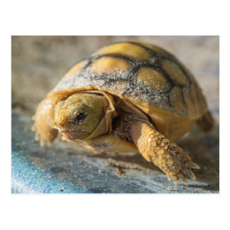 Baby Gopher Tortoise Postcard