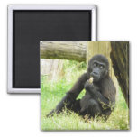 Baby Gorilla Snacking 2 Inch Square Magnet